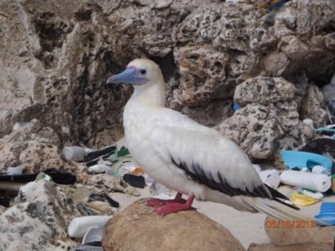 호주 연구진은 바닷새 대부분의 위에서 플라스틱 쓰레기를 발견했다고 밝혔다. - 호주 연방과학원(CSIRO) 제공